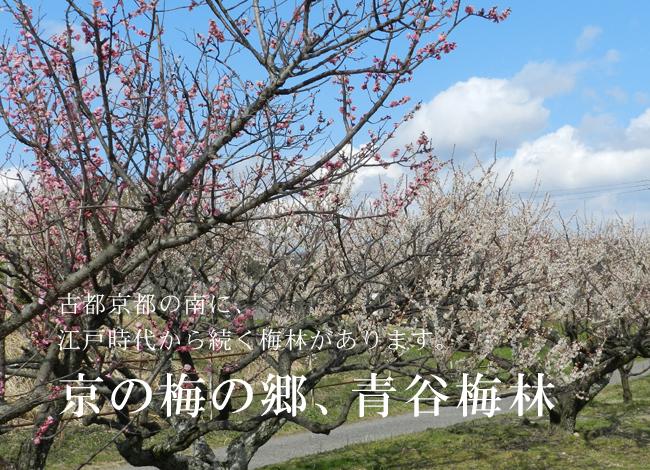 京の梅の郷、青谷梅林