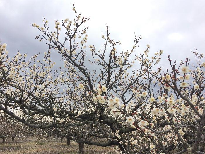 梅の花の様子2月24日
